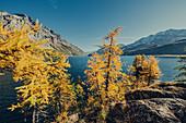 Herbstlicher Wald am Silsersee im Oberengadin, Sankt Moritz im Engadin, Schweiz, Europa\n