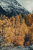 Golden larches on the Morteratsch Glacier, Upper Engadine, Engadine, Switzerland, Europe