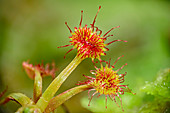 Carnivorous sundew plant, Drosera, with tentacle, Bavaria, Germany