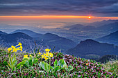 Blooming auricula with a view of sunrise over Inntal and Chiemgau, Wendelstein, Bavarian Alps, Upper Bavaria, Bavaria, Germany