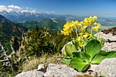Blooming auricula, Primula auricula, Tegelberg, Ammergau Alps, Swabia, Bavaria, Germany