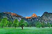Geiselstein in the Alpenglow, meadows with sycamore maple in the foreground, Wankerfleck, Ammergau Alps, Swabia, Bavaria, Germany