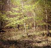 Small birch in the forest, Odenwald, Hessen, Germany