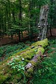 Small forest scene on Feldberg im Taunus, Hessen, Germany
