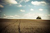 Grain field in summer, Baden Württemberg, Germany