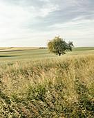 Einzelner Baum auf einem Feld im Abendlicht, Odenwald, Hessen, Deutschland
