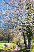 Blossom tree in spring in the morning sun, Odenwald, Hesse, Germany