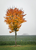 Deciduous tree in the foggy autumn, Bavaria, Germany