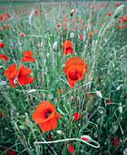Poppy / corn poppy, field of poppies, Hesse, Germany