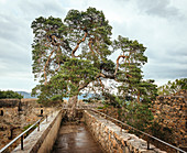 300 year old pine tree at Auerbach Castle, Bergstrasse, Bensheim, Hesse, Germany