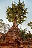 """Large tree at old stupa ruin """"Nyaung Ohak"""" in the evening light at Inle Lake, Nyaung Shwe, Myanmar"""