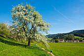 Spring in the Glottertal, Black Forest, Baden-Württemberg, Germany