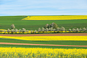 Blühende Rapsfelder bei Beuren im westlichen Hunsrück, Rheinland-Pfalz, Deutschland