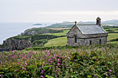 Pink flowers and St Non's Chapel and Holy Well, St. Davids, Pembrokeshire coast, Wales, UK.
