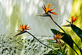 Orange Strelitzia flowers growing in front of light grey marble wall.