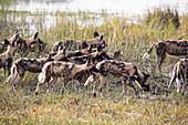 A pack of wild dogs, Lycaon pictus