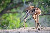 Ein Impala-Kalb (Aepyceros melampus) dreht sich um und leckt sein erhobenes Hinterbein