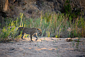 A leopard, Panthera pardus, walks through a sand bank, front leg raised, looking out of frane, sunlight