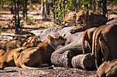 A group of female lions feeding on a dead elephant in a game reserve.