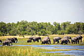 herd of elephants gathering at water hole, Moremi Game Reserve, Botswana