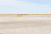 Burchell's zebra, a small group of animals in the Kalahari Desert,
