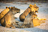 A pride of female lions lying resting at sunset, one yawning.