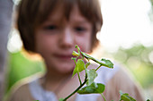 A five year old boy looking closely at a praying mantis on a leaf.