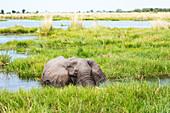 Ein ausgewachsener Elefant mit Stoßzähnen, der durch Wasser und Schilf watet