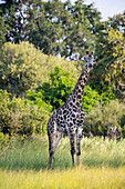 A giraffe among the trees in woodland.