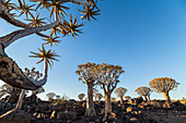 Quiver tree forest at Quiver Tree Forest Rest Camp in the evening light, Keetmanshoop, Namibia