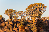 Quiver tree forest at Quiver Tree Forest Rest Camp in the evening light, Keetmanshoop, Namibia