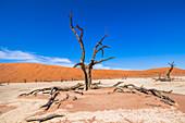 Tote Bäume in weiter Landschaft des Deadvlei (weiße Salz-Ton-Pfanne), Sossusvlei, Sesriem, Namibia