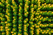 A bird's eye view of sunflowers in a field. Aubing, Munich, Upper Bavaria, Bavaria, Germany, Europe