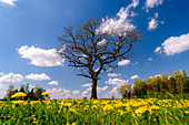 Solitary oak tree in a field on the side of the road with the dandelions blooming in the evening mood. Germering, Upper Bavaria, Bavaria, Germany, Europe