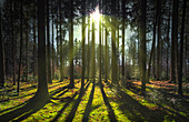 Backlight shot with the sun low in a forest in the west of Munich. Aubinger Lohe, Munich, Upper Bavaria, Bavaria, Germany, Europe