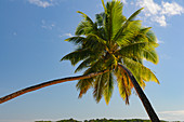 Two palm trees growing together on the beach at Yanuca Island, Fiji Islands