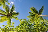 View from a deck chair to the sky with palm trees and tropical plants, Fiji Islands