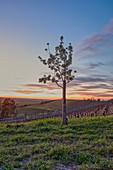 Young fruit tree in the vineyards near Reusch, Frankenberg Castle, Reusch, Weinparadies, Neustadt an der Aisch, Middle Franconia, Franconia, Bavaria, Germany, Europe