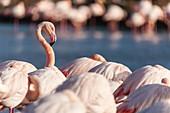 France, Bouches du Rhone, Camargue Regional Nature Park, Saintes Maries de la Mer, Pont de Gau ornithological park, flamingo