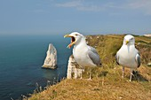 France, Seine Maritime, Etretat, two gulls at the edge of the cliff with the Aiguille Creuse in background with one which screams