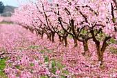 France, Drome, Loriol sur Drome, peach trees