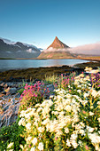 The summer bloom of flowers and the rocky peak of Volanstinden during midnight sun, Fredvang, Lofoten Islands, Norway, Europe