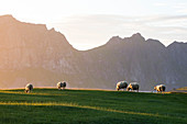 Sheep grazing in the meadows during midnight sun, Uttakleiv, Lofoten Islands, Northern Norway, Europe