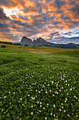 Sunrise on Alpe di Siusi/Seiser Alm with summer flowers, Sassolungo and Sassopiatto Dolomites, South Tyrol, Bolzano province, Trentino Alto Adige, Italy, Europe
