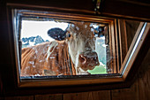 Val di Rabbi, Trento province, Trentino Alto Adige, Italy, Europe. Close up of a cow looking through a window