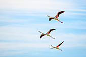 Camargue, France, Europe. Three flamingos flying in the sky