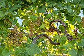a d'uva bunch of grapes ready to be harvested in the Cinque Terre vineyards, National Park of Cinque Terre, Riomaggiore, La Spezia province, Ligurian district, Italy, Europe