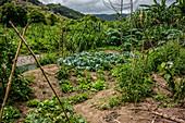 Garden on Malekula, Vanuatu, South Pacific, Oceania