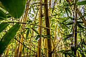Bamboo grove on Malekula, Vanuatu, South Pacific, Oceania