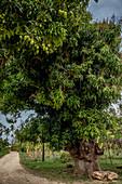 Mango tree, Efate, Vanuatu, South Pacific, Oceania